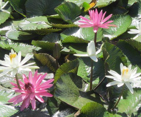 waterlilies-in-tahiti